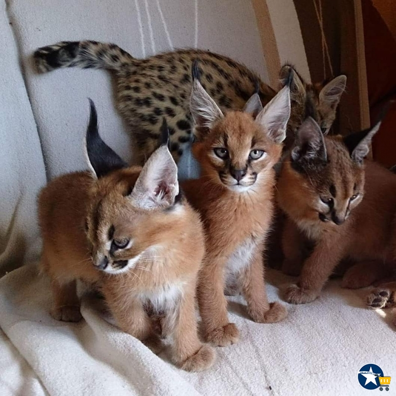 Gatitos SERVAL, SAVANNAH y CARACAL disponibles par